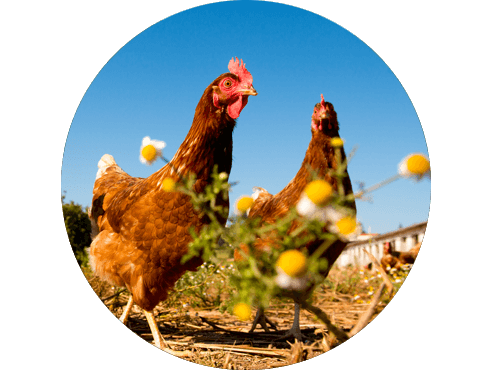 Explorações de Ovos de galinhas criadas ao ar livre
