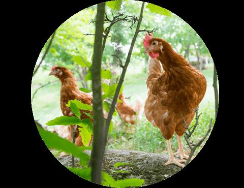 Explorações de Ovos biológicos